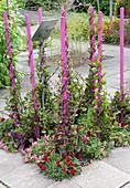 Malabar-Spinat an pinken Stäben, unterpflanzt mit Löwenmäulchen