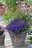 Korb mit Scheinsonnenhut 'Butterfly Kisses' und Fächerblume Surdiva 'Violet Blue'