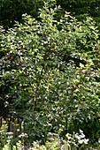 Sauerkirschbaum im Naturgarten