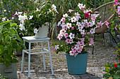 Dipladenien Mandevilla Sundaville 'Cream Pink' 'White', Obstsalbei und Acapulco-Chair