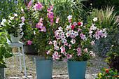 Dipladenien Mandevilla Sundaville 'Pink' 'Cream Pink' 'White'