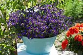 Fächerblume Surdiva 'Violet Blue' in Blechschale