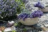 Korb mit frisch geerntetem Lavendel