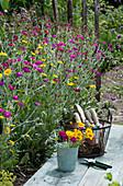 Beet mit Vexiernelke und Färberkamille, Korb mit Utensilien, Schere und Becher mit frisch geschnittenen Blüten