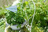 Schale mit Basilikum und Blüten vom Giersch als Wegweiser zum Sommerfest