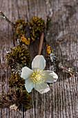 Christrose - einzelne Blüte mit Moos und Zweig