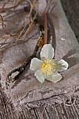 Blüte von Christrose mit Zweig auf Tuch gelegt