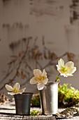Einzelne Blüten von Christrose in Bechern
