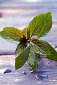 Closeup of fresh wild mint leaf