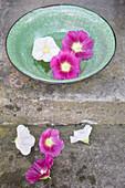 Lila und weiße Blüten von Stockrose in grüner Schale