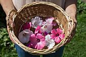 Lila und weiße Blüten von Bechermalve und wilder Malve im Korb