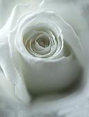Rose (Rosa sp.) flower