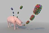 Formation of new flu strain, illustration