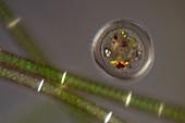 Testate amoeba, light micrograph