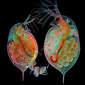 Daphnia water fleas, light micrograph