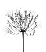 Agapanthus lily (Agapanthus praecox), X-ray