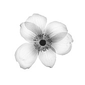 Anemone flower head, X-ray
