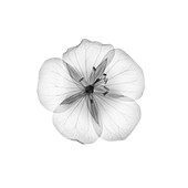 Geranium flower head, X-ray