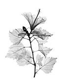 Hibiscus stem, X-ray