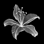 Lily flower (Lilium sp.), X-ray