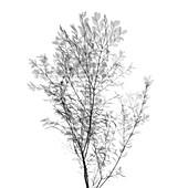 Viburnum shrub, X-ray
