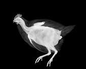 Chicken, X-ray