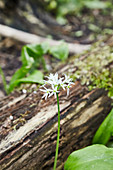 Wild garlic flowers in a clearing in a forest