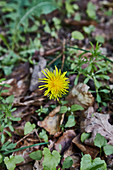 A dandelion flower on the forest floor