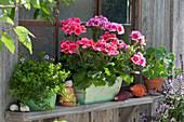 Stehende Geranien 'Calliope Rose Splash' 'Dolce Vita Coral Eye', Thymian und Kapuzinerkresse am Fenster