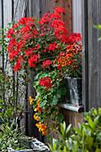 Stellar-Geranie Summer Twist 'Red' mit Kapuzinerkresse und Zweizahn 'Beedance Painted Red' in Kasten am Fenster