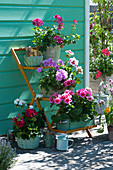 Geranien 'Red White Bicolor' 'Amethyst' 'Flower Fairy White Splash' 'Calliope Rose Splash' 'Tango Neon Purple' 'Glacis' auf Blumentreppe