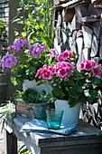 Geranien 'Calliope Rose Splash' und 'Amethyst' mit Graskränzchen