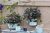 Storchschnabel 'Orkney Cherry' in Emailletöpfen an Bretterwand gehängt