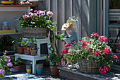 Geranien 'Happy Face® Dark Red Mex' 'Flower Fairy White Splash' in Körben mit Zauberschnee und Prachtkerze, Tontopf mit Tomatenpflanze