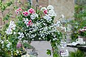 Hängeampel mit Geranien 'Happy Face White', 'Flower Fairy White Splash' und Schneeflockenblume 'Big White'