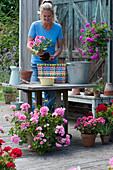 Bunten Flechtkorb mit Geranie bepflanzen, Frau pflanzt Geranie 'Flower Fairy Pink' ein