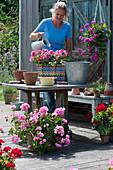 Bunten Flechtkorb mit Geranie bepflanzen, Frau gießt frisch eingepflanzte Geranie 'Flower Fairy Pink' an