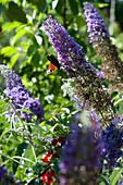 Tagpfauenauge an Blüten vom Sommerflieder