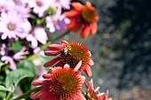 Honigbiene auf Blüte vom Scheinsonnenhut