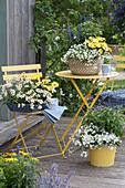 Zweizahn 'Bee White', Schneeflockenblume 'Big White' Kapkörbchen Summersmile 'Light Yellow' 'Yellow Punch' und Mehlsalbei 'Violet Candle'