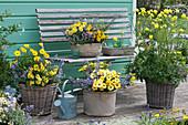 Blau-gelbes Arrangement mit Kapkörbchen Summersmile 'Yellow' 'Double Golden Yellow', Katzenminze 'Purrsian Blue', Zweizahn 'Sweetie' und Trollblume 'Lemon Queen'
