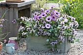 Kapkörbchen Summersmile 'Light Pink' und Taubnessel 'Pink Chablis' im selbstgebauten Holzkasten