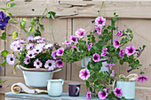 Kapkörbchen Summersmile 'Light Pink' und Petunie Veranda 'Rose Vein' in emaillierten Gefäßen aufgehängt