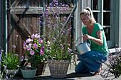 Bienenfreundliche Terrasse mit Dahlie, Berglauch und Eisenkraut, Frau gießt