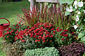 Herbstchrysantheme Dreamstar 'Zelos', Japanisches Rotgras 'Red Baron', Prunkwinde 'Milky Way', roter Klee Angel Clover 'Beauty' und Dickrosettiges Fettblatt