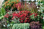 Herbstchrysantheme Dreamstar 'Zelos', Sonnenbraut, Japanisches Rotgras 'Red Baron', Mangold, Storchschnabel, Bergminze, Kapuzinerkresse, Klee Angel Clover 'Beauty' und Dickrosettiges Fettblatt