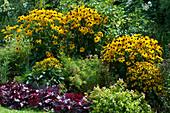 Gelber Sonnenhut 'Goldsturm' 'Little Goldstar', Purpurglöckchen und Abelie