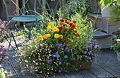 Bunt bepflanzter Kasten mit Zinnien, spanischem Gänseblümchen, blauem Gänseblümchen, blauer Mauritius und Rucola
