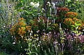 Buntes Beet mit Sonnenbraut 'Flammenrad' 'Rubinzwerg' 'Rotgold' 'Moerheim Beauty', Dahlie 'My Love', Duftnessel, Prachtkerze, Färberkamille und Mannstreu