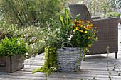 Korb bepflanzt mit Zweizahn 'Duo Sunshine', Prachtkerze 'Karalee White', Pfennigkraut und Mangold